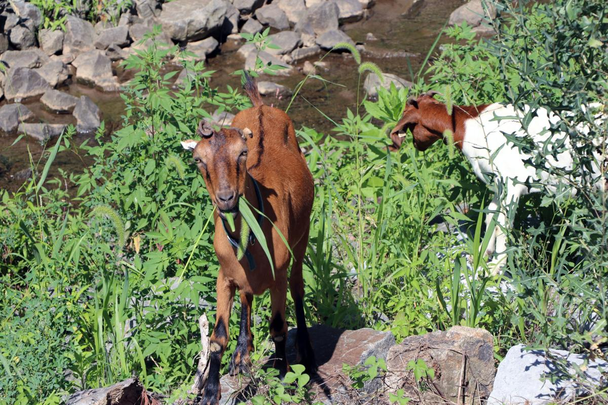 leesburg-goats-weed